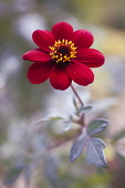 Dahlia 'Bishop of Auckland', single red flower showing yellow stamen and dark purple leaves.