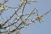 Blackthorn or Sloe, Prunus spinosa, blossom on bare wood twigs against a blue sky.