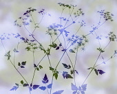 Cow parsley, Anthriscus sylvestris. abstract silhouette of several stems, colour manipulated to green and purple on pastel mauve green background.