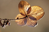 Hydrangea, backlit view of brown coloured leaves.