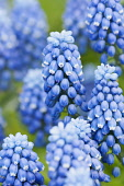 Grape hyacinth, Muscari botryoides 'Superstar', close up of the blue flowers.