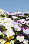 Viola, mass of brightly coloured flowers growing outdoor with blue sky.