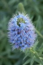 Bugloss, Pride of Madeira, Echium candicans, spikey blue coloured flower.