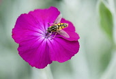 Rose campion, Lychnis coronaria, Hoverfly collecting nectar from flower.