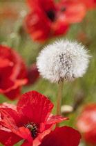 Dandelion, Taraxacum officinale, seedhead growing amongst the field Poppies, Papaver rhoeas.