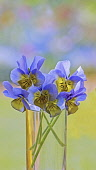 Viola, blue and yellow flowers in a clear vase of water against a dappled soft focus background.