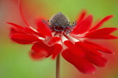 Anemone coronaria, red and white flower viewed from the side with a dynamic appearance showing centre cone and stamens.