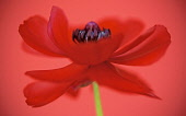 Anemone coronaria, red flower viewed from the side with a dynamic appearance showing centre stamens.