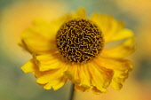 Helen's flower, Sneezeweed, Helenium, viewed side on showing the domed central mass of stamens.