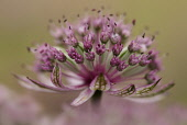 Masterwort, Astrantia major 'Pink penny', close up side view of pink and green flower head.