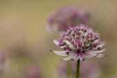 Masterwort, Astrantia major 'Pink penny', side view of pink and green flower head with others soft focus behind.