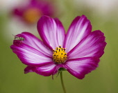 Cosmos bipinnatus 'Candy Stripe' flower with a hoverfly perched on it.