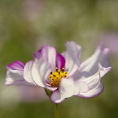 Cosmos bipinnatus 'Rose Picotee' showing its curled striped petals.