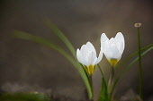 Crocus, two pure white crocuses with leaves.