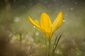 Crocus, yellow flower during rain shower.