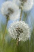 Dandelion,Taraxacum officinale, Three dandelion clocks in grass against blue sky.