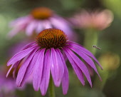 Purple coneflower, Echinacea purpurea flowerhead against others soft focus behind, hoverfly in flight approaching the flower.