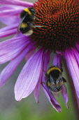 Purple coneflower, Echinacea purpurea flowerhead showing stamen, two bees are collecting pollen from it.