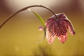 Snake's head fritillary, Fritillaria meleagris, single stem bent over so the flower is turned away, low sun backlight picks up the checkerboard pattern on the petals.