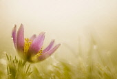 Pasqueflower, Pulsatilla vulgaris, single flower in the bottom left of the frame backlit in early morning sunlight.
