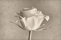 Rose, Rosa, black & white side view against a manuscript background.