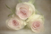 Rose, Rosa, Three pink flowers, grouped together surrounded by a textured painterly background, giving a romantic atmosphere.