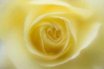 Peace rose, Rosa 'Peace', close up with a dreamy soft focus.