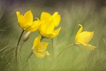 Wild yellow woodland Tulip, Tulipa sylvestris, growing among grass.