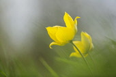 Wild yellow woodland Tulip, Tulipa sylvestris, growing among grass.
