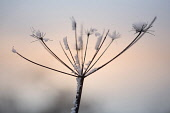 Common Hogweed. Heracleum sphondylium, single ragged stem covered with snow at sunset.