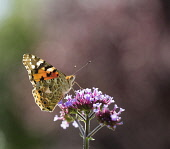 Brazilian Verbena, Verbena bonariensis with a Painted Lady butterfly, backlit.