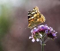Brazilian Verbena, Verbena bonariensis with a Painted Lady butterfly, backlit.