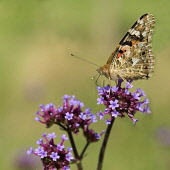 Brazilian Verbena, Verbena bonariensis, with a Painted Lady butterfly.