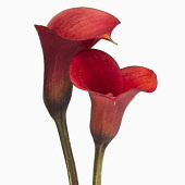Calla lily, Zantedeschia rehmannii 'Mango', Two red flowers close together in an intimate position.