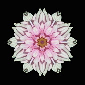 Flower Mandala, manipulated image created by multiplying section of plant into a complete geometric shape.