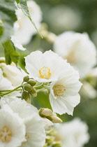 Abutilon - White abutilon, Abutilon vitifolium var. album,