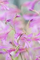 Gladiolus, Field gladiolus, Gladiolus italicus