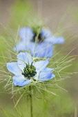 Love-in-a-mist, Nigella damascena