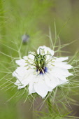 Love-in-a-mist, Nigella damascena 'Persian Jewels'