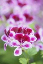 Geranium 'Angel Eyes Burgundy', Pelargonium peltatum 'Angel Eyes Burgundy', close up of richly coloured flower.