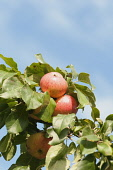 Apple, Malus domestica 'Breakwells seedling', Apples growing among leaves of the cider variety against ablue sky.