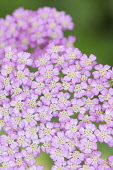 Yarrow, Achillea millefolium 'Pretty Belinda, Close view of the mass of tiny pink flowers that make up each flowerhead.