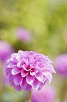 Dahlia, Pompon Dahlia, Dahlia 'Jan van Scheffelaar, Several stems of the pink globe shapes flowers----