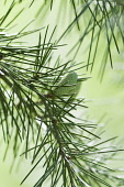Deodar tree, Cedrus deodara, A cone hanging on a branch showing the fine needles.