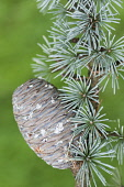 Blue atlas cedar, Cedrus atlantica Glauca Group, A cone hanging on a branch showing the rosettes of needles.