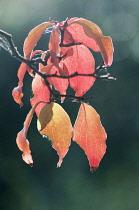 Dogwood, Flowering Dogwood, Kousa dogwood, Cornus kousa, A small branch with autumn leaves backlit in low sunlight.
