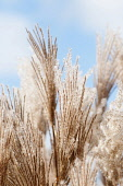 Eulalia 'Malepartus', Miscanthus sinensis 'Malepartus', Several fluffy flowering stems against blue sky.