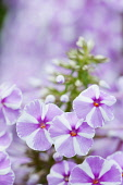 Phlox, Meadow phlox, Phlox maculata 'Natascha', Close view of the clusters of lilac pink and white striped flowers.