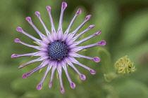 Osteopermum, African daisy, Osteospermum 'Pink Whirls', Overhead view of one pink flower.