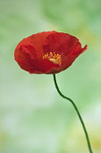 Icelandic poppy, Papaver nudicaule 'Champagne Bubbles', Side view of one red poppy with yellow stamen on a thin bendy stem.